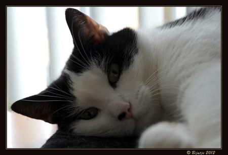 Bram - Dit is Bram mijn grote kroelkont. Zijn favoriete bezigheden: slapen, ravotten, achter een laserlampje aanjagen, kroelen, kroelen en nog een kroelen.  - foto door Bijntje op 13-09-2012 - deze foto bevat: poes, huisdier, bram, kat