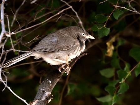 Mijn  Reizen - ja  ook dit is een vogel  die daar in India   voor komt   het is een jungle Babbelaar .    Gelukkig heb ik wat boekjes waar ik het zo goed mogelijk k - foto door Stumpf op 14-04-2021 - locatie: India - deze foto bevat: bruin, vogel, takje, organisme, bek, hout, vleugel, staart, zangvogel, veer