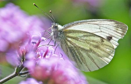 Klein geaderd witje - Klein geaderd witje - foto door MaJaTa op 24-12-2018 - deze foto bevat: macro, natuur, vlinder, landschap, insecten, zomer, vlinders, insect, witje, fauna, flora, klein geaderd witje