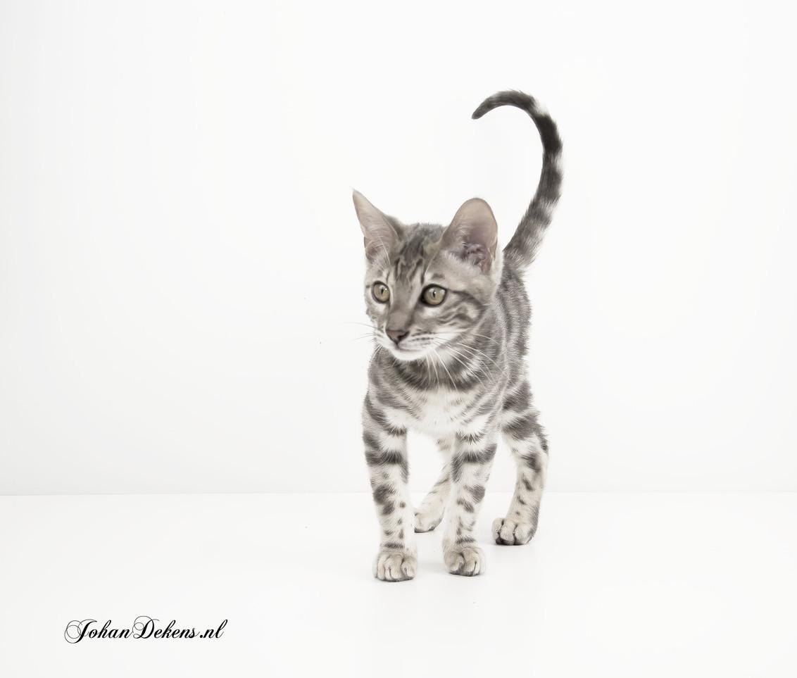 Bengaalse kat - Bengalen zijn aanhankelijk, slim en ontzettend speels en actief. Ze kunnen echt uren aan een stuk spelen en door huis sprinten om daarna gezellig bij - foto door johandekens op 05-02-2019 - deze foto bevat: poes, dieren, huisdier, kat, Wilde kat, bengaalse kat