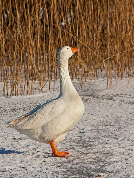 Gans - Aansluitend bij de vogelbeschermers van gisteren, enkele van hun beschermelingen. Die witte gans in een redelijk lichte achtergrond vond ik best een  - foto door kosmopol op 09-02-2012 - deze foto bevat: winter, gans, kosmopol