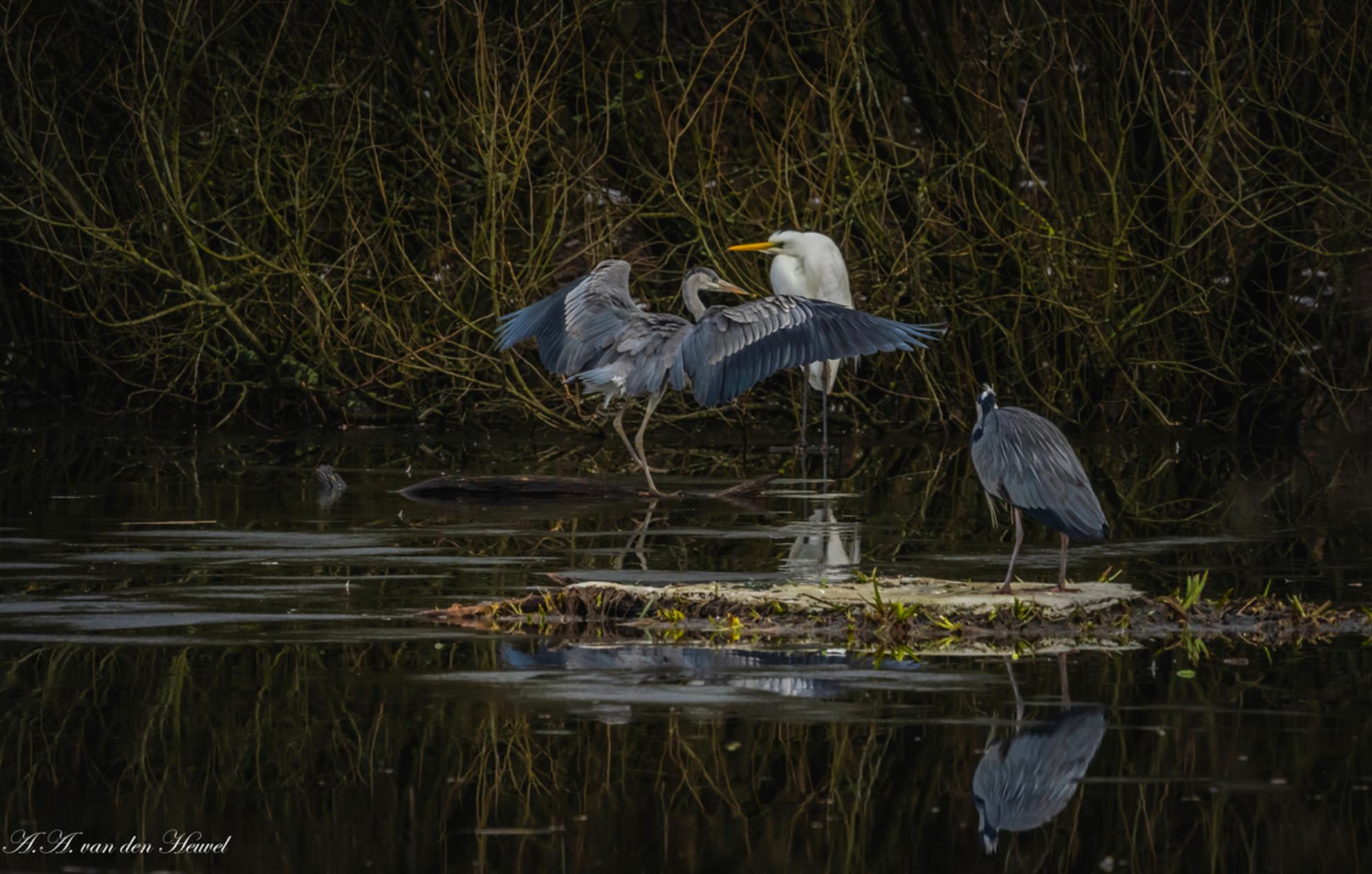 blauwe reiger zilverreiger - Samen zijn, geen corona regels. Zo vrij als een vogel - foto door AnnaToos op 16-02-2021 - deze foto bevat: natuur, reiger, watervogel, zilverreiger