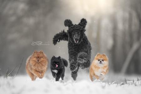 Run like someone left the gate open - - - foto door ellen-braeckman-photography op 25-02-2021 - deze foto bevat: natuur, sneeuw, dieren, huisdier, hond, poedel, keeshond