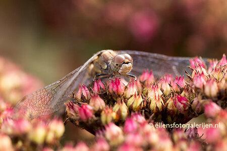 Late Heidelibel - Deze late Heidelibel zat lekker te genieten van het najaarszonnetje. - foto door ellen-zeist op 06-10-2015 - deze foto bevat: roze, macro, bloem, natuur, herfst, libel, insect, dof, bokeh