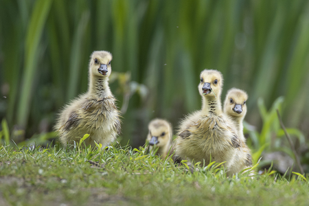 Gansjes - Kleine gansjes - foto door huyssen op 04-05-2021 - deze foto bevat: vogel, fabriek, bek, phasianidae, mensen in de natuur, natuurlijk landschap, galliformes, eenden, ganzen en zwanen, watervogels, gevogelte