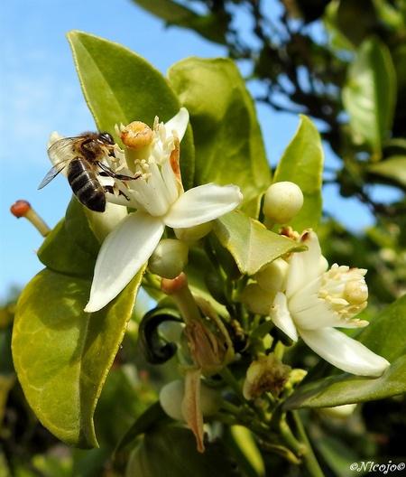 Sinaasappelbloesem... - De citrus bomen staan weer vol in bloei, terwijl het fruit en nog niet af is. Heerlijke zoete geuren komen je tegemoet.  Bedankt voor al jullie rea - foto door ocelot_zoom op 07-05-2020 - deze foto bevat: bloem, lente, natuur, voorjaar, spanje, citrus, nicojo