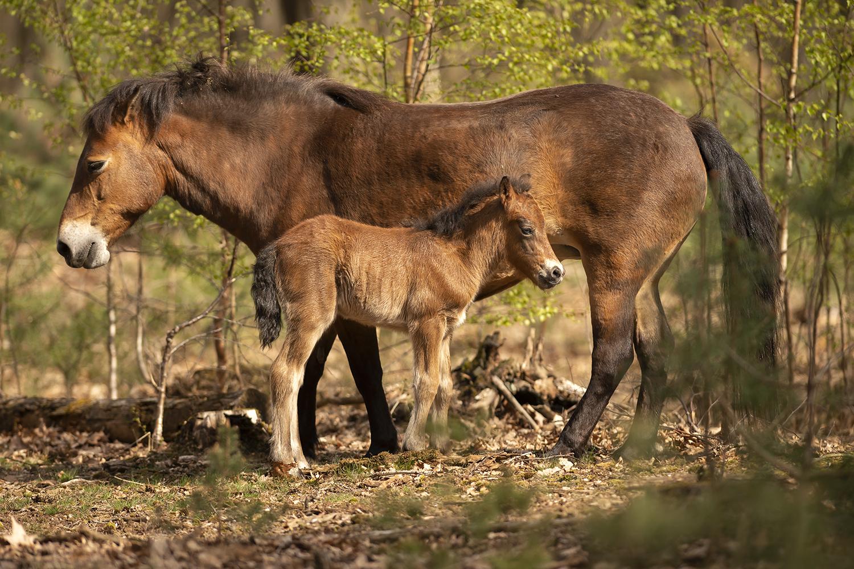 Exmoorpony met kleintje - Natuurgebied de Maashorst - foto door corinnec op 05-05-2021 - locatie: Maashorst - deze foto bevat: exmoorpony, maashorst, natuur, jong, paard, fabriek, lever, natuurlijk landschap, boom, zuring, hout, biome, fawn, manen