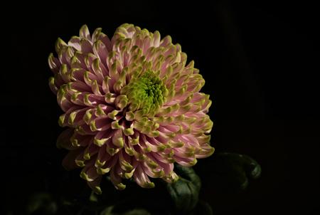 roze bloem - mooie Roze Chrysant.      Ali heeft gelijkt ,  prachtige bloemen die fotogeniek zijn. - foto door majvangooreg op 29-03-2018 - deze foto bevat: bloem