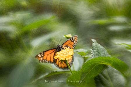 Monarchvlinder. - De Monarch vlinder in Vlinders aan de Vliet.  Foto gemaakt met de Lensbaby composer pro, double glas optic en creative apperture.  Een grote uitd - foto door nicole-8 op 08-07-2019 - deze foto bevat: groen, macro, bloem, natuur, vlinder, geel, licht, oranje, tuin, zomer, insect, lensbaby, spot, vlindertuin, monarchvlinder, dof, onscherpte, bokeh, nivas, vlinders aan de vliet, Double glass, canon80d, lensbaby macro