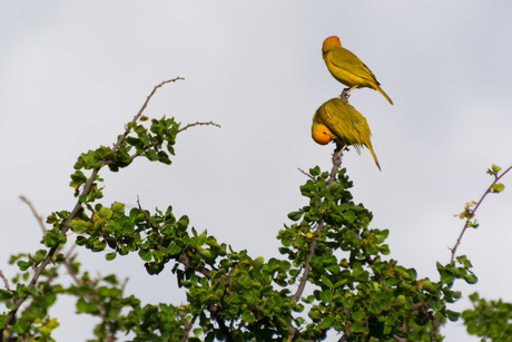 papegaaitjes Curacao