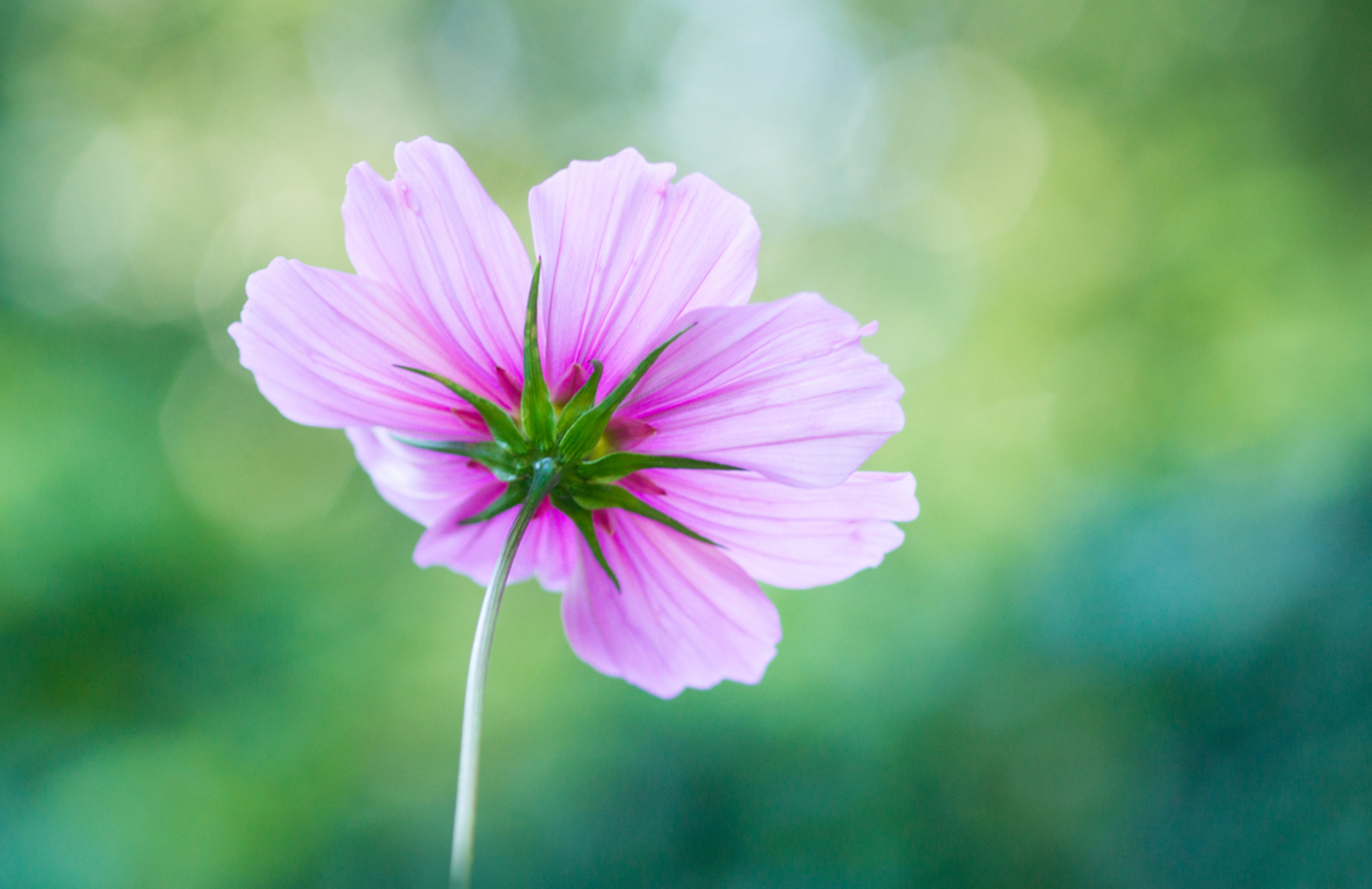 Catching the light - Vandaag ben ik voor het eerst op pad geweest voor de paddenstoelen, maar ik heb nog niet echt afscheid kunnen van de zomer. Daarom nog een zomerse bl - foto door andersonc op 20-09-2015 - deze foto bevat: roze, groen, macro, bloem, herfst, bokeh