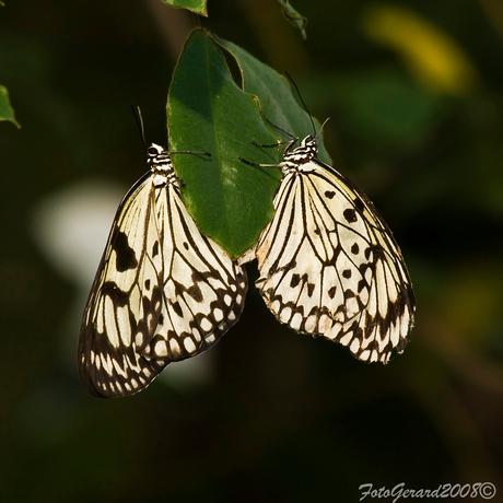 Vlinders in Artis 5