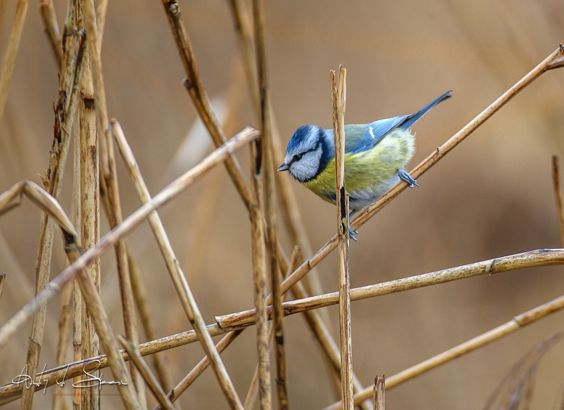 pimpelmees - - - foto door AndyvdSteen op 25-02-2021 - deze foto bevat: natuur, dieren, vogel, wildlife