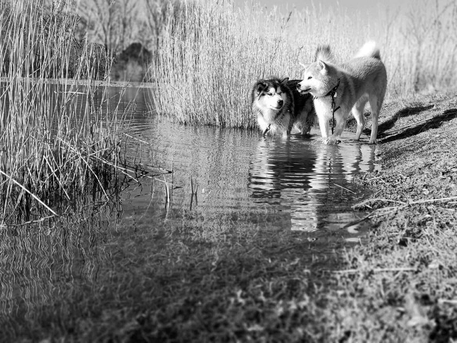 Malamute VS akita - Malamute VS akita - foto door rontermaat op 17-04-2021 - locatie: Heerhugowaard, Nederland - deze foto bevat: water, hond, werkend dier, zwart en wit, stijl, natuurlijk landschap, carnivoor, gras, fabriek, landschap