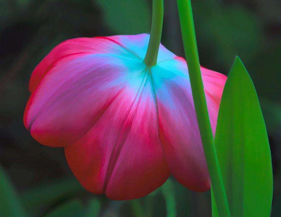 Geknakt - Detailopname van een geknakte tulp in een tulpenveld.  Nog even en de velden worden weer veelvuldig bezocht voor o.a. een mooie foto MAAR ... late - foto door jzfotografie op 18-03-2021 - deze foto bevat: groen, kleuren, rood, wit, tulp, nederland, fotografen, dof, scherpte, uitsnede, tulpenvelden, oppassen, geknakt, tuinders, Noord Holland