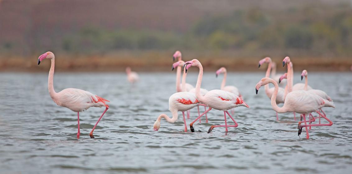 Flamingo - In natuurgebied Ria Formosa in zuid oost Portugal kon ik de Flamingo fotograferen - foto door KeesvanderKlauw op 02-03-2021