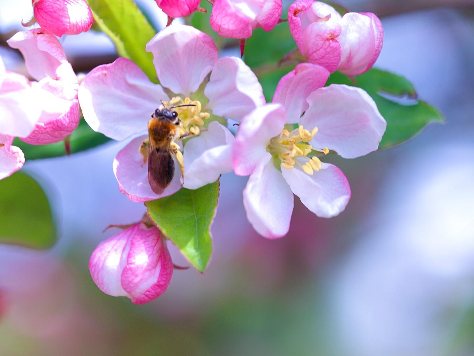 lente - bij druk aan het werk - foto door jeanetfoto op 29-04-2021 - locatie: 7271 Borculo, Nederland - deze foto bevat: bloem, fabriek, bestuiver, insect, geleedpotigen, bloemblaadje, honingbij, kever, plaag, rosa arkansana