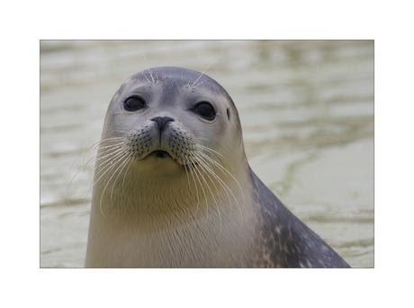 Portret van een zeehond
