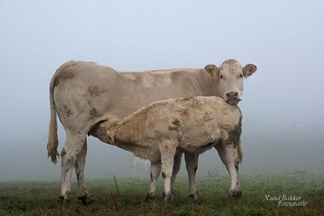 Koetje en kalfje in de mist