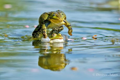 Jumping Frog 1