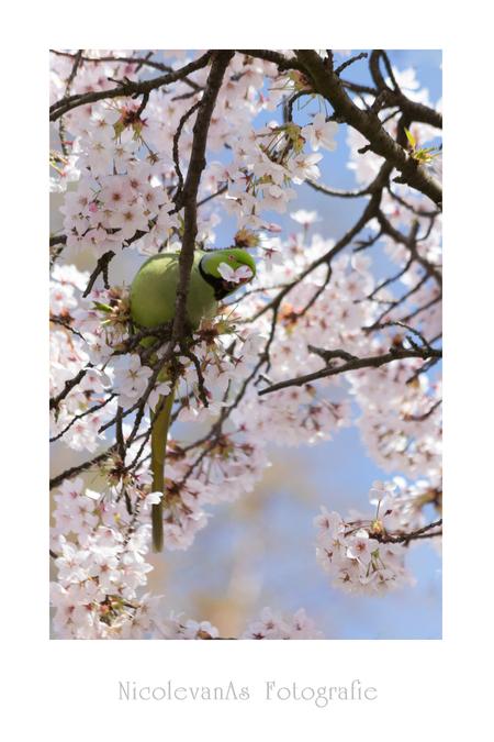 Blossombird. - Tijdens het fotograferen van de lente, kwam ik een wel heel mooi tafereel tegen.  Ik had  net mijn zoomlens op mijn camera gezet. De macro even de  - foto door nicole-8 op 31-03-2017 - deze foto bevat: groen, lucht, bloem, lente, natuur, geel, licht, blad, dieren, vogel, tegenlicht, voorjaar, canon, bloesem, nederland, parkiet, pastel, zoomlens, guldensnede, uniekelente, regelvanderden