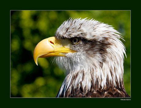 Roofvogelshow in Den Ham