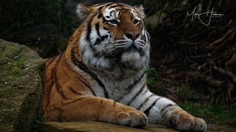 Siberische tijger aan het rusten