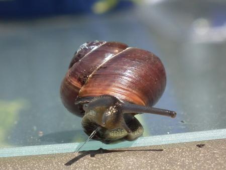 super snel ........ - super snelle tuinslak - foto door MissEllie op 02-11-2012 - deze foto bevat: slak, tuin, huis, rugzak, traag, slijm, langzaam