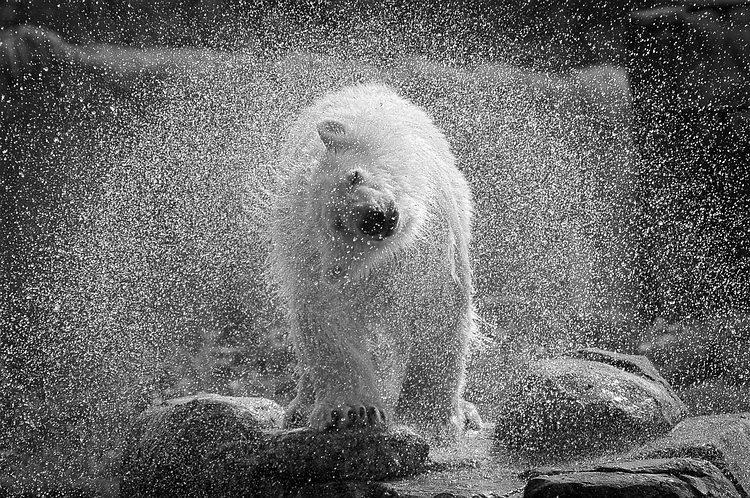 spetterende ijsbeer - ijsbeer Vicks schud zich uit. - foto door Feline op 27-10-2011 - deze foto bevat: ijsbeer