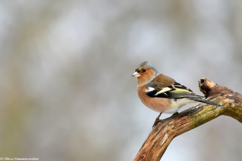 Beauty Finch - Vinkje op een boomstronk in het bos. Prachtige vogels, en herkenbaar met de twee lichte gekleurde strepen in de vleugels. - foto door thirzaniemantsverdriet op 12-04-2021 - deze foto bevat: vogel, bek, takje, zangvogel, staart, hout, neerstekende vogel, terrestrische dieren, veer, balans