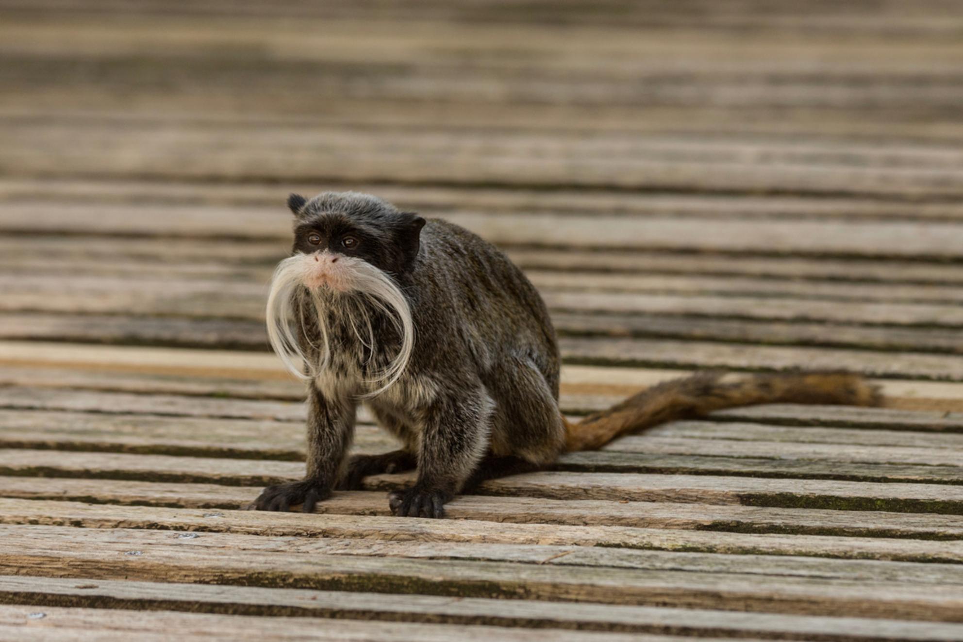 Mr. Snorremans - Te schattig zijn deze kleine Keizertamarins met hun enorme grote snor ten opzichte van zijn hoofdje. - foto door Valeries-Photography op 03-05-2019 - deze foto bevat: dierentuin, lente, natuur, dieren, wild, aap, snor, nederland, wildlife, apeldoorn, apenheul, gelderland, schattig, keizertamarin, snorremans, klein aapje - Deze foto mag gebruikt worden in een Zoom.nl publicatie