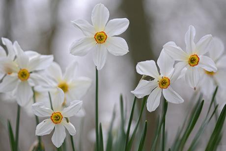 Konings Narcis
