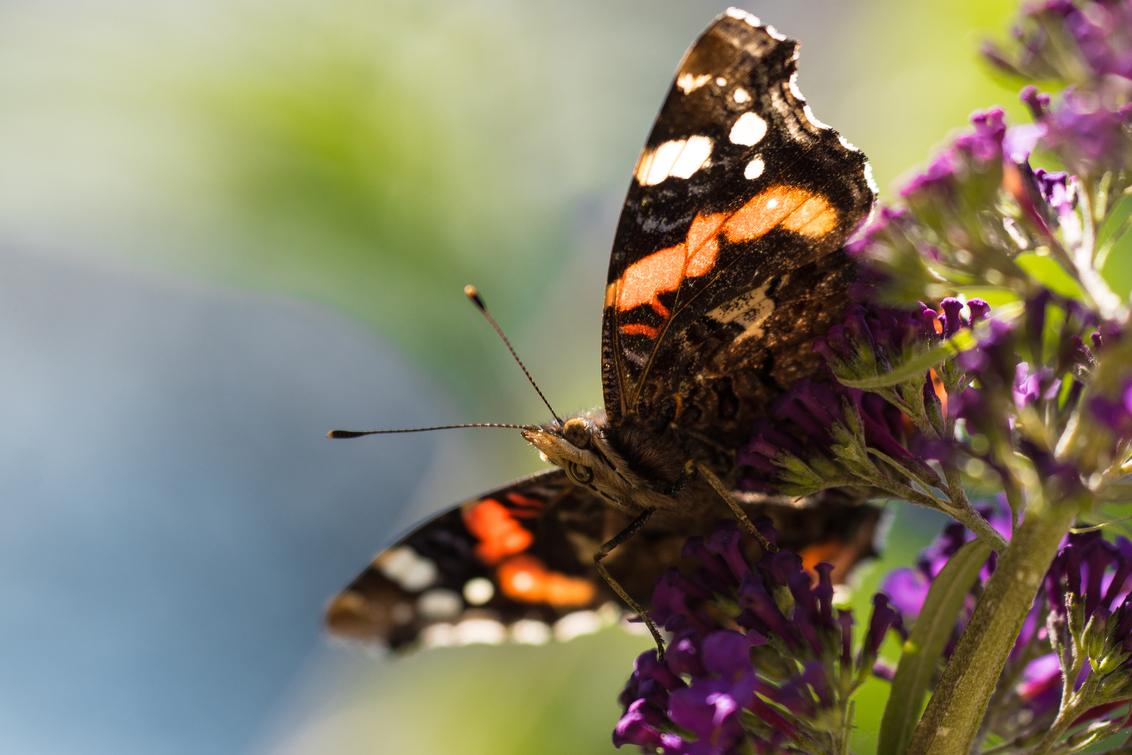 Butterfly - - - foto door VivianAlexandra op 24-09-2017 - deze foto bevat: zon, nature, natuur, vlinder, zomer, butterfly, vlinderstruik