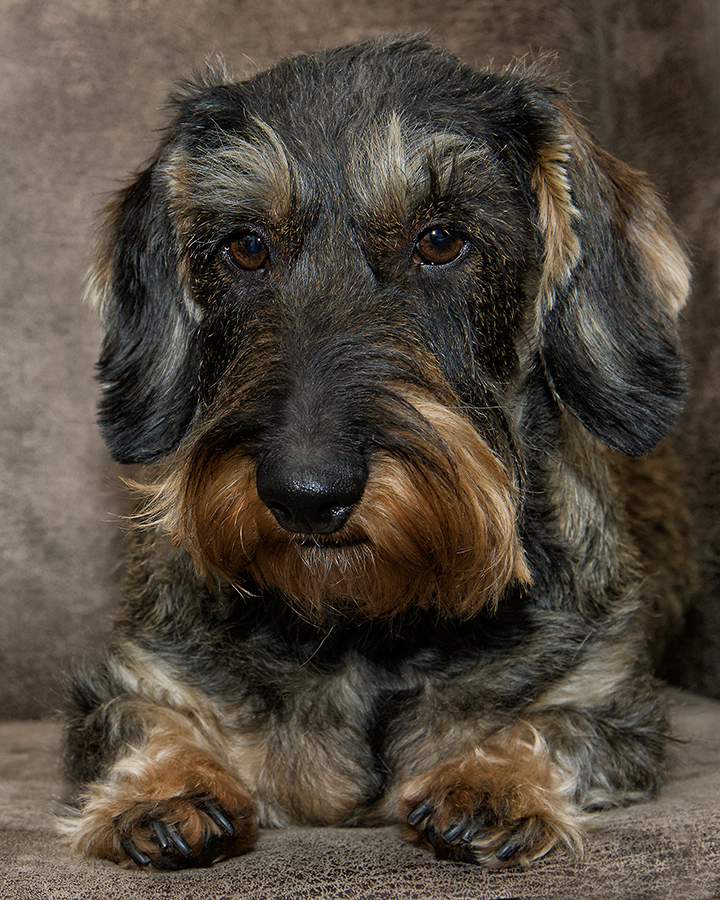 Mijn maatje...... - Saartje mijn maatje, een eigenwijze ruwharige teckel.... - foto door Rohs op 15-04-2021 - locatie: Bakelse Bossen, 5709 Helmond, Nederland - deze foto bevat: hond, carnivoor, hondenras, metgezel hond, lever, snuit, canidae, terrestrische dieren, sportieve groep, vacht
