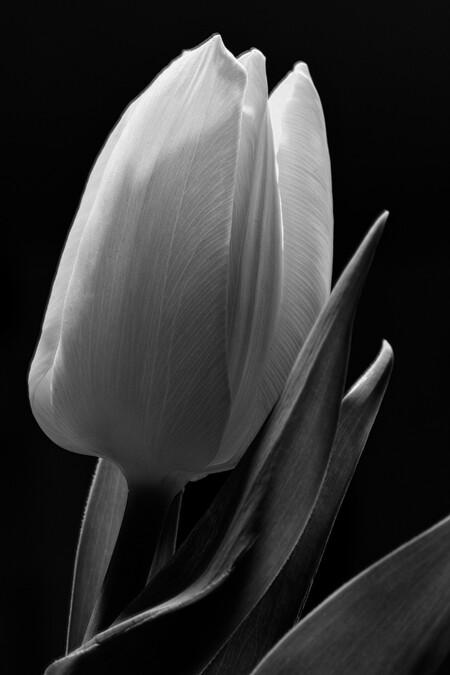 Tulp - Alle zoomers, zoomvrienden en -volgers, bedankt voor de waardering, tips en aandachtspunten op mijn vorige uploads - foto door PaulvanVliet op 12-03-2021 - deze foto bevat: macro, wit, bloem, natuur, licht, tulp, blad, zwart