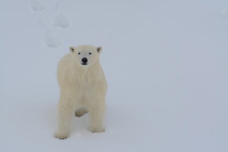 Ijsbeer op Svalbard