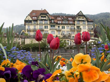 Tulpen in Thun