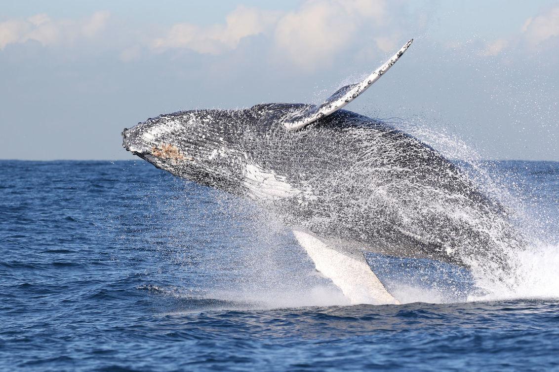 """humpback whale jumping - """"One Shot"""". De Humpackwhale sprong vlak voor onze boot. Ik had geen tijd om alle instellingen te checken cq aan te passen. Dit is de volledige onbewe - foto door dunawaye op 19-03-2019 - deze foto bevat: australie, walvis, bultrug, Humpback Whale"""