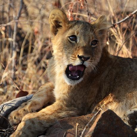 Trust the lion cub II