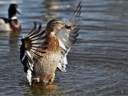 Lente - In de lentezon - foto door marsonna op 15-04-2021 - locatie: 4241 Arkel, Nederland - deze foto bevat: vogels, eenden, wilde eend, vrouw, badderen, zonnen, lente, water, vogel, bek, vloeistof, meer, organisme, watervogels, vloeistof, eenden, ganzen en zwanen, veer
