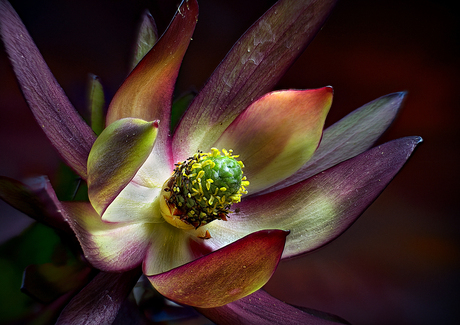 Leucadendron Safari Sunset_1081