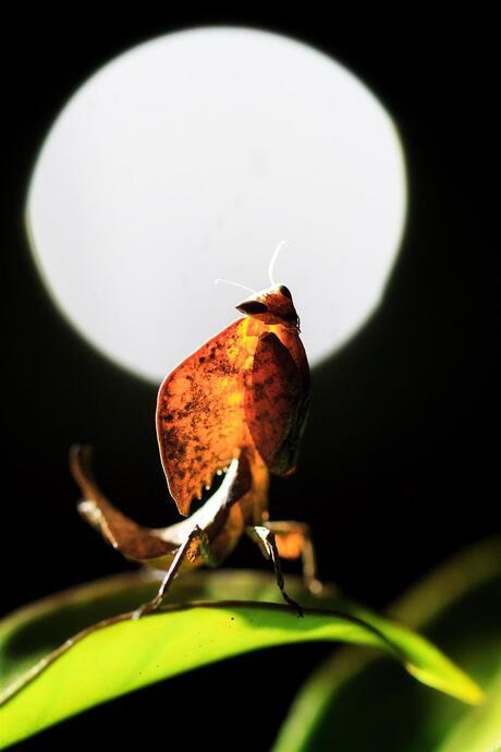 Full moon mantis