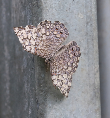 Nachtvlinder (Mot)
