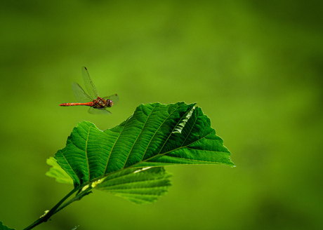 Heidelibelle in de vlucht