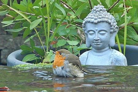wie doet me wat? - het roodborstje is een trouwe gast in onze tuin, net als veel andere vogeltjes. dit had ik echter nog niet eerder gezien, een roodborstje dat baddert - foto door Tonny1946 op 02-11-2020 - deze foto bevat: herfst, roodborstje, grijs, nieuwegein, achtertuin, boeddha, oranjerood, waterornament, oktober 2020, licht grijs