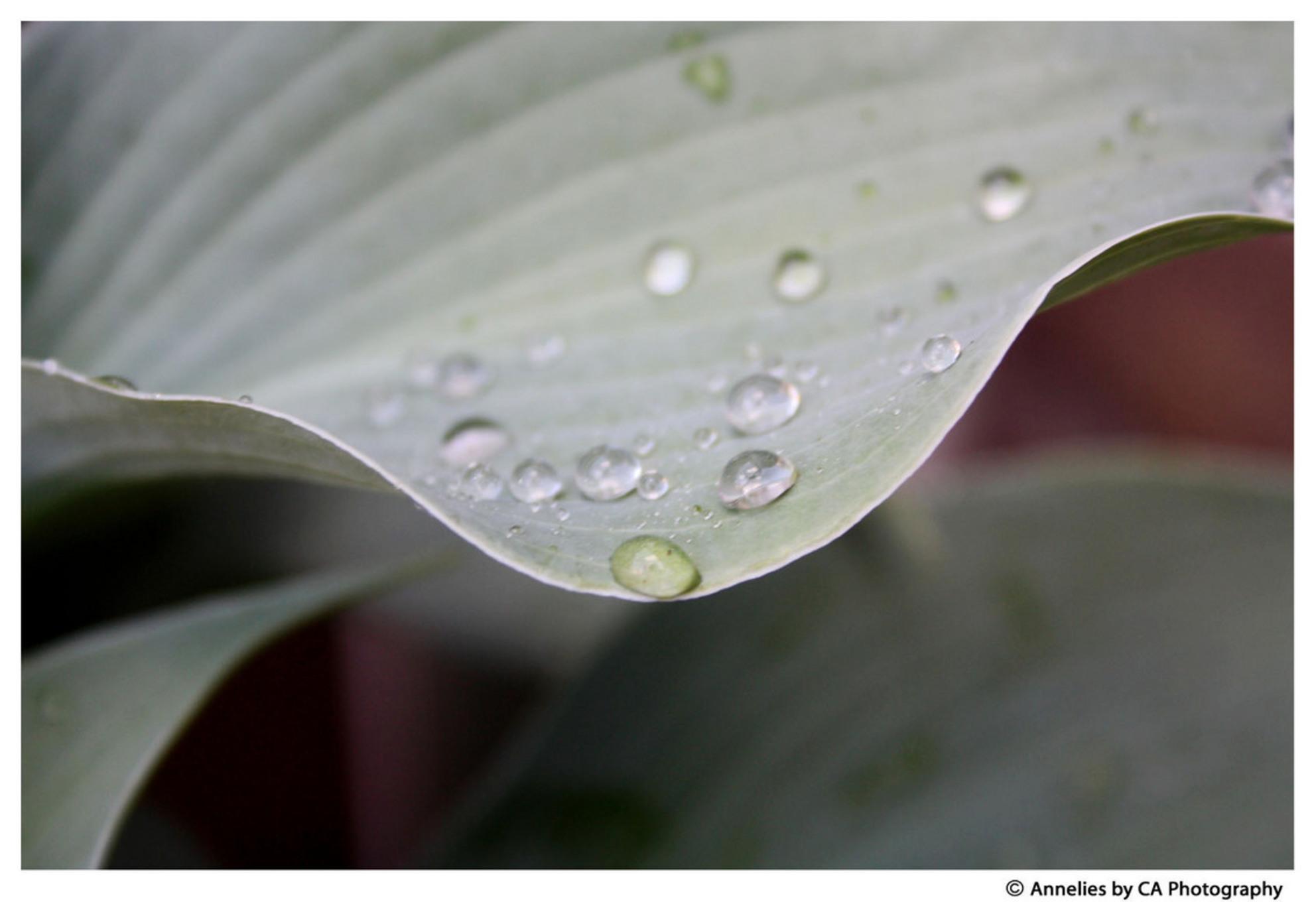Druppels - Gewoon een tuinmomentje. - foto door anneliefsje op 17-11-2011 - deze foto bevat: natuur, blad, druppels, dauw
