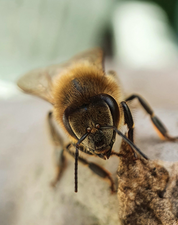 Bij - Voordat ik mijn camera met macrolens had, heb ik deze bij met een macro-opzetlensje op mijn mobiel gefotografeerd. Met een echte camera gingen er mee - foto door sbrina op 08-04-2021 - deze foto bevat: bestuiver, insect, geleedpotigen, honingbij, plaag, parasiet, insect met membraanvleugels, hommel, insecten met netvleugels, dieren in het wild