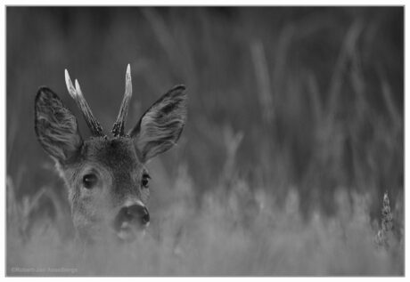 black and white roe deer.