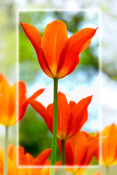 Tulp in de keukenhof