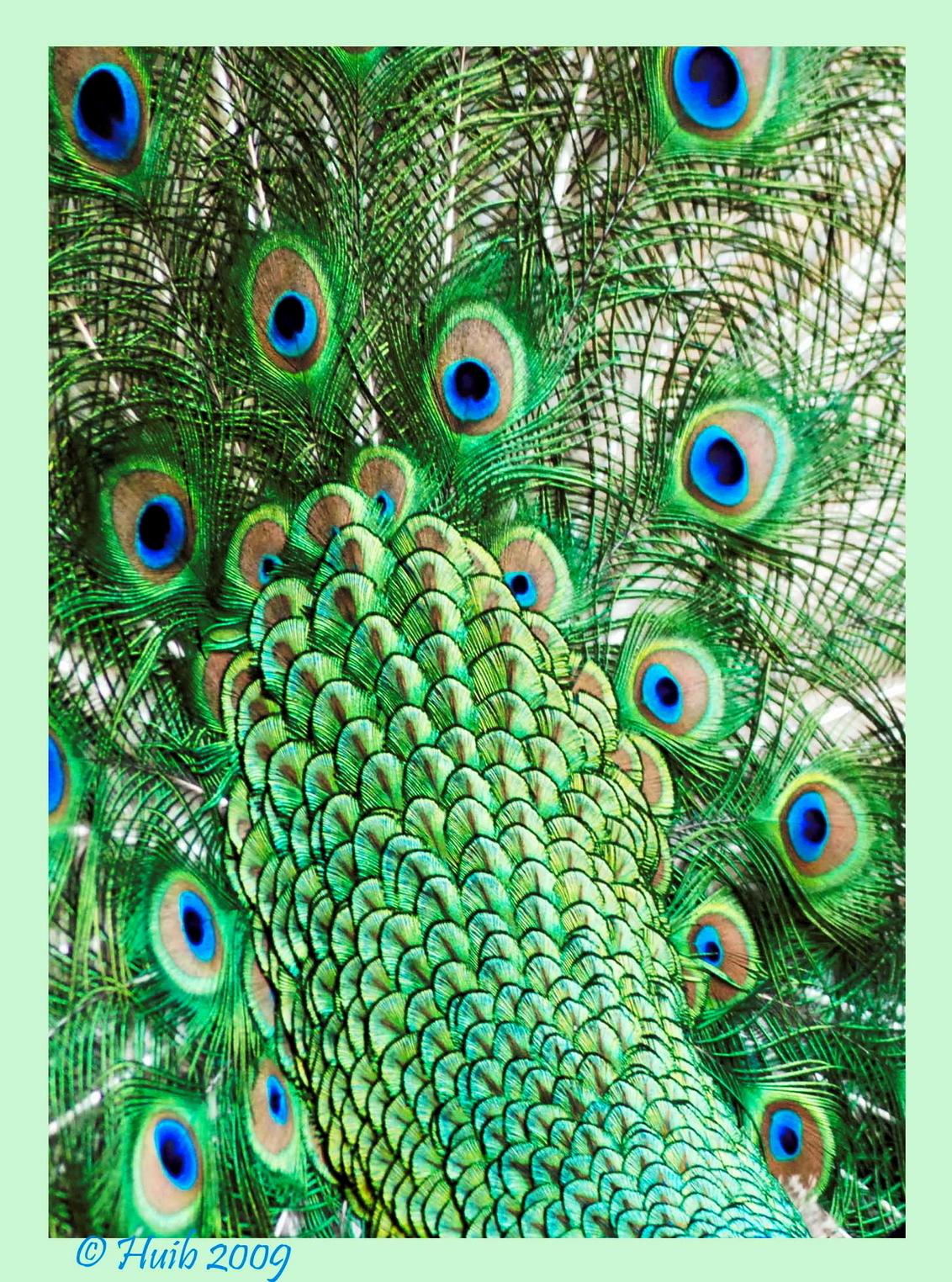 Kunst???? - Eens uit een anders standpunt bekeken. - foto door huib10 op 16-07-2009 - deze foto bevat: groen, blauw, dierentuin, natuur, veren, vogel, pauw, dier, veer